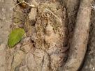 ศิริมงคล! เศียรพระพุทธรูปโผล่กลางต้นโพธิ์โบราณอายุกว่า 500 ปี